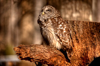 HDR Barred Owl